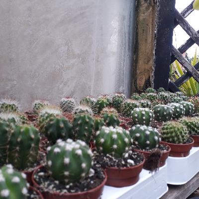 Mini cactus divers à l'unité