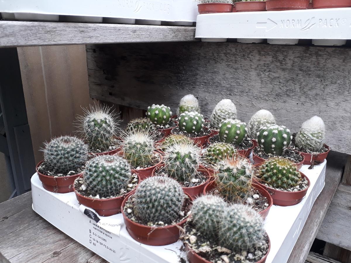 Minis cactus divers X3
