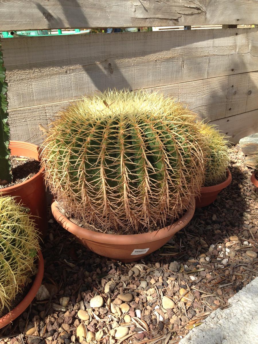 Echinocactus grusonii ø 35
