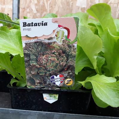 Batavia rouge
