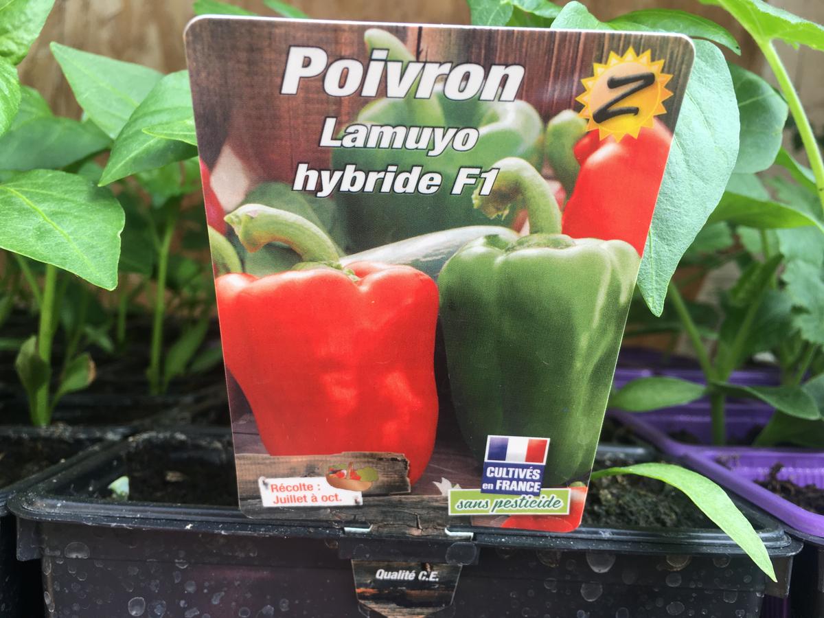 Poivron Lamuyo